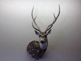 Axis Wall Pedestal Taxidermy